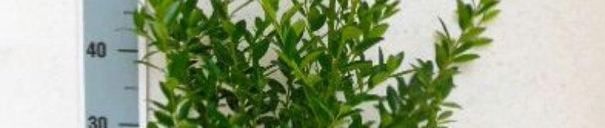 Online Ilex maximowicziana 'Kanehirae' bestellen bij Haagplantenkopen.be