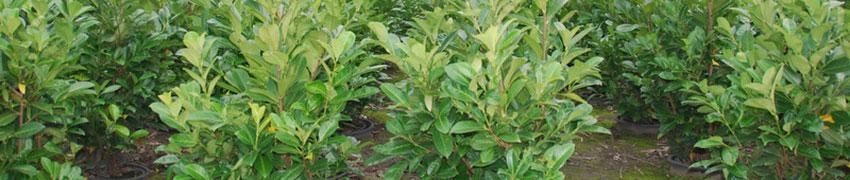 Paplaurier Rotundifolia