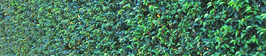De Portugese laurier: een parel onder de haagplanten