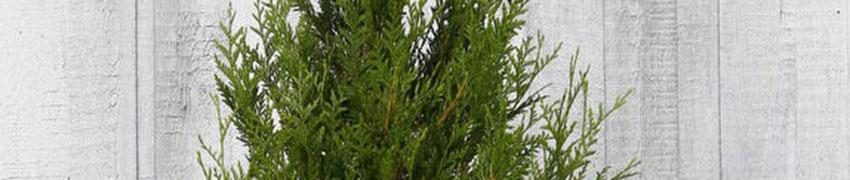 Reuzenlevensboom 'Atrovirens' kopen