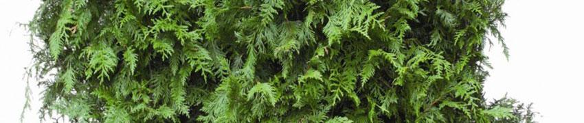 Reuzenlevensboom 'Excelsa' kopen
