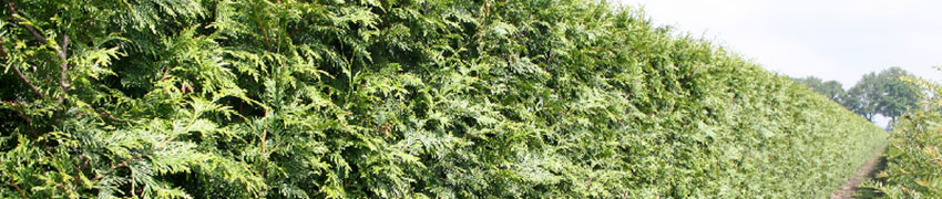 reuzenlevensboom 'Excelsa'