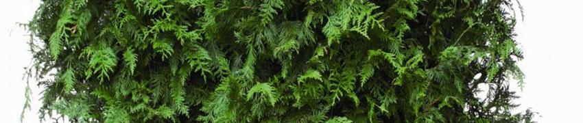 Reuzenlevensboom 'Martin' kopen