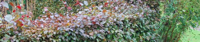 Rode beuk bij Haagplantenkopen.be