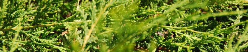De schoonheid van de Gele Leylandii conifeer