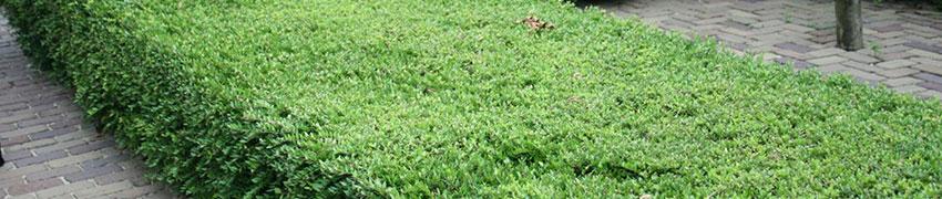 Struikkamperfoelie in uw tuin