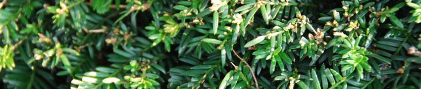 Taxus baccata ofwel, gewone taxus