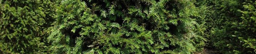 Taxus baccata: een giftige plant