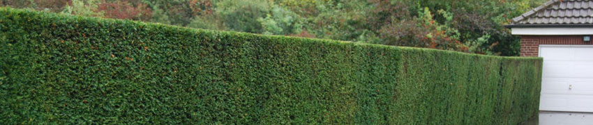 Taxus baccata als haagplant