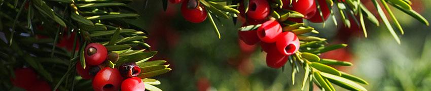 Taxus media 'Hicksii' online kopen