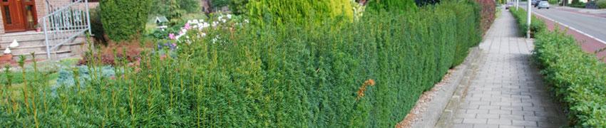 Taxus media 'Hillii' als haagplant