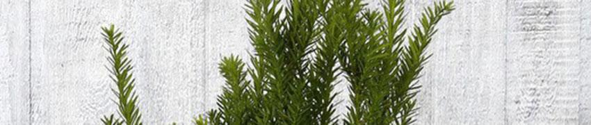 Taxus media 'Hillii' online kopen