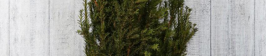Taxus media 'Hillii' in de tuin