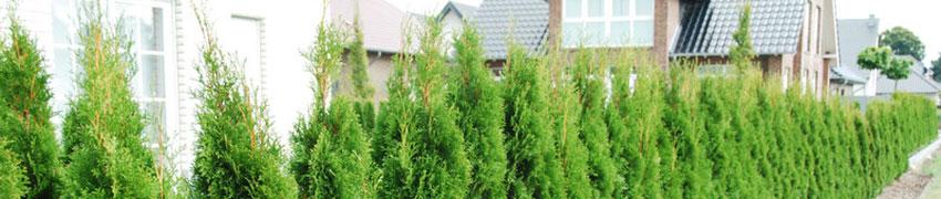 Thuja occidentalis 'Smaragd' in de tuin