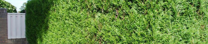 Thuja plicata 'Martin' in de tuin