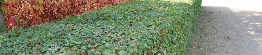 Veldesdoorn kopen bij Haagplantenkopen.be