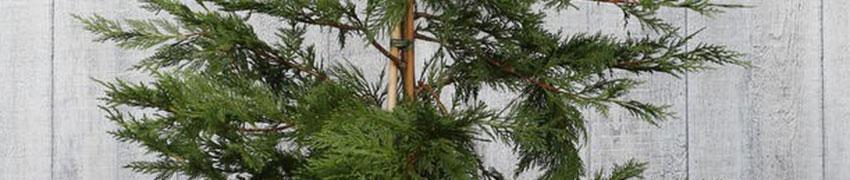 Hoe verzorg ik Leylandii coniferen?
