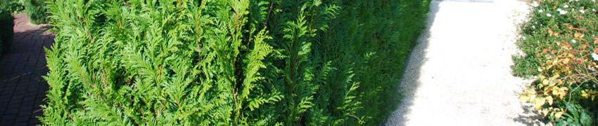 De Westerse Levensboom 'Brabant' online bestellen