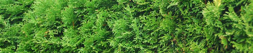 Westerse levensboom 'Smaragd' kopen