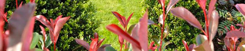 Groenblijvende heesters en coniferen