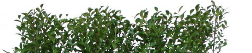 De wintergroene liguster 'Atrovirens' in de kwekerij