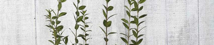 Wintergroene liguster 'Atrovirens' online kopen