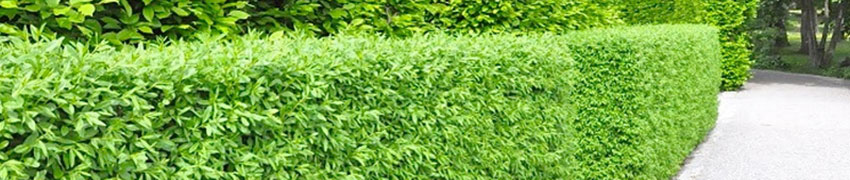 De wintergroene liguster 'Atrovirens': het hele jaar groen