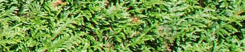 Coniferen snoeien: nazorg
