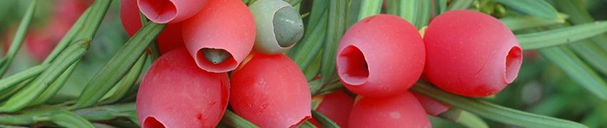 Taxushaag online kopen in de webshop van Haagplantenkopen.be