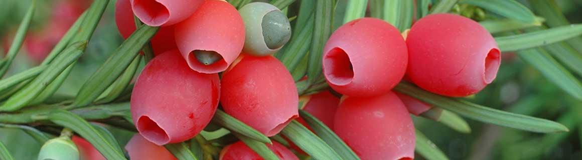 Haagplanten kopen