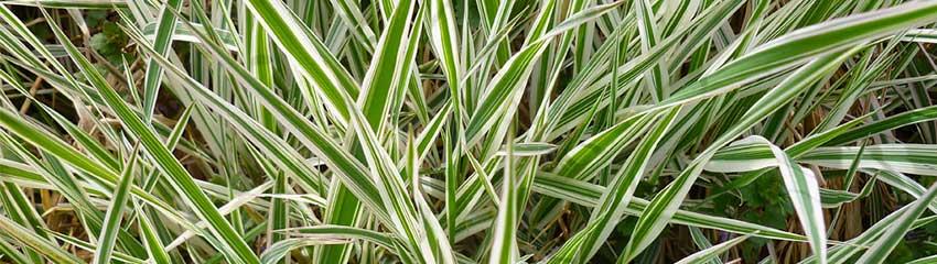 Carex morrowii in uw tuin