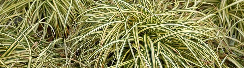 Carex oshimensisin de tuin