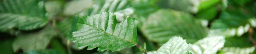 Haagbeuk planten