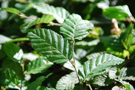 Haagbeuk planten en verzorgen