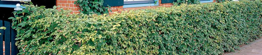 Haagbeuk na het planten