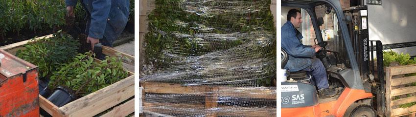 Haagplanten worden klaargemaakt voor transport na kwaliteitscontrole