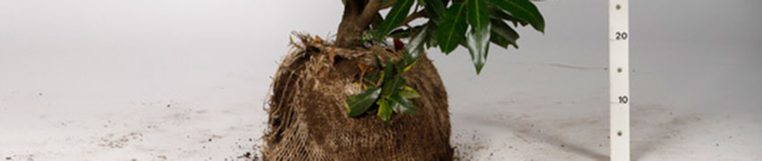 Een haag planten met kluitplanten