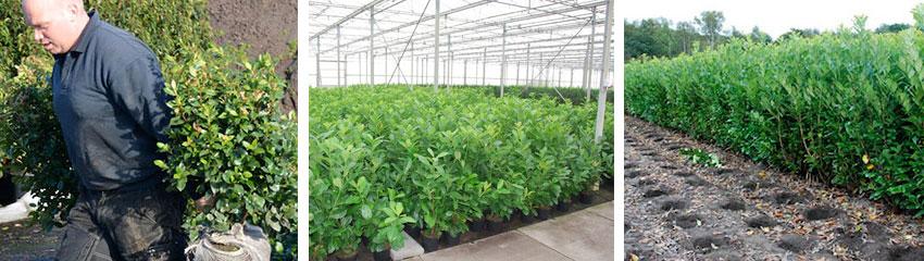 Haagplanten worden op bestelling gerooid