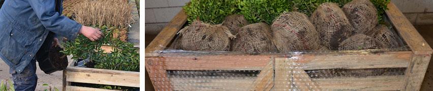 Haagplanten zijn klaar voor verzending