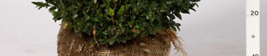 Uw heesters of coniferen bestellen met kluit<