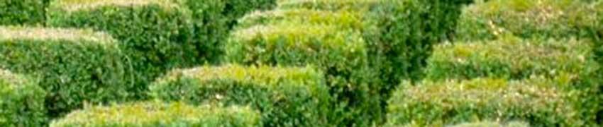 Hoe plant ik een buxushaag?