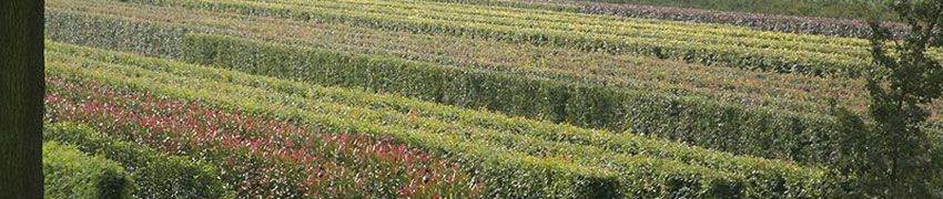Kant-en-klaar hagen planten en verzorgen