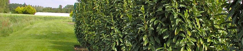 Laurierhaag kopen in de webshop van Haagplantenkopen.be