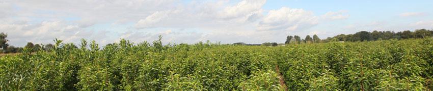 Laurierhaag online kopen in de webshop van Haagplantenkopen.be