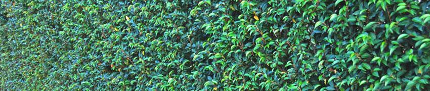 Laurierhaag in de tuin