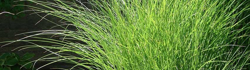 Miscanthus sinensis 'Gracillimus' in de tuin