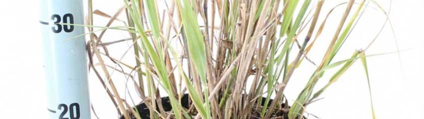 Panicum virgatum in uw tuin