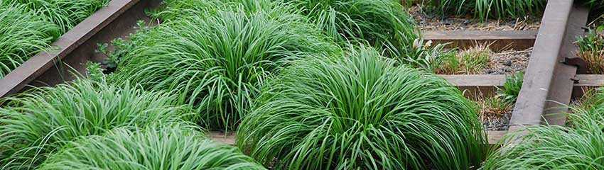 Standplaats en onderhoud Carex 'Evergreen'