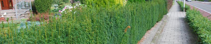axushaag kopen in de webshop van Haagplantenkopen.be