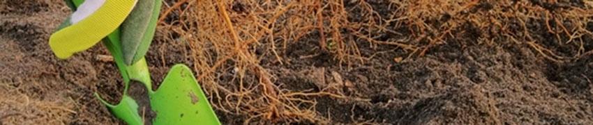 Voorbereiding voor het planten van heesters en coniferen met blote wortels